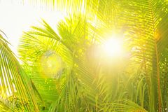 Sunlight through the green leaves of palm trees, tropical summer Stock Photos