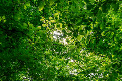 Sunlight Through Green Leaves Royalty Free Stock Images