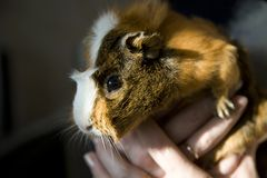 Sunlight Guinea Pig Stock Photo