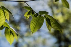 Sunlight hiding behind the leaf. royalty free stock photo