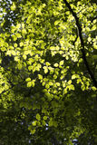 Sunlight and Hornbeam Leaves. Back-lit European Hornbeam leaves in a Surrey forest, England, UK Royalty Free Stock Image
