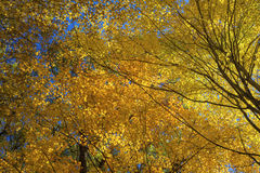 Sunlight illuminates colorful maples Stock Photography