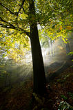 Sunlight illuminates the tree in the forest during morning Stock Images