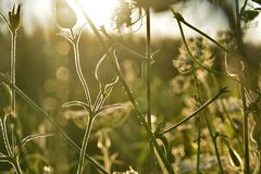 Sunlight illumines meadow plants , milfoil. Bathed in warm summer sunlight, tiny flowers exude freshness in all its splendor and color. Meadow,field, near Royalty Free Stock Photo