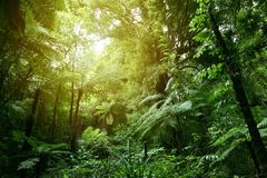 Sunlight in jungle canopy. Lush green foliage in tropical jungle Stock Photos
