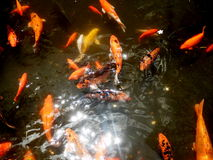 Water Sparkling on Koi Goldfish Pond. New Year Good Luck Sunlight on water garden koi pond with bright orange and gold koi fish. Koi symbolize good luck royalty free stock photos