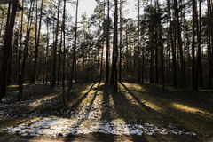 Sunlight in Latvian forest. Royalty Free Stock Photos