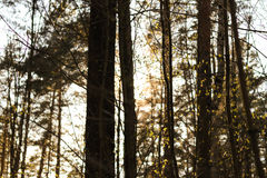 Sunlight in Latvian forest. Stock Images