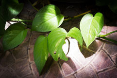 Sunlight through leaf. Royalty Free Stock Images