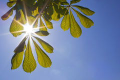 Sunlight through leaves Stock Images