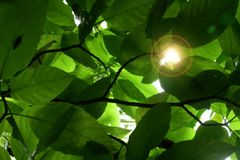 Sunlight through Leaves Stock Photos