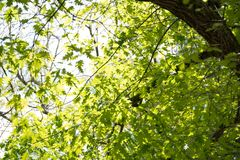 Sunlight through the leaves with a big branch in the upper right corner Stock Image
