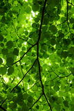 Sunlight Through Leaves Royalty Free Stock Image