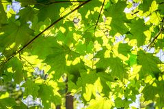 Sunlight through the leaves of a tree Royalty Free Stock Photo