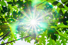 Sunlight and lens flare from the gap between Carica papaya tree Royalty Free Stock Image