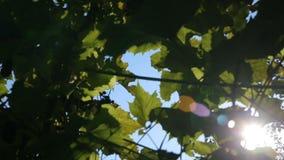Sunlight and lens flare,tree leaves. Sunlight and lens flare, tree leaves stock video