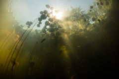 Sunlight and Lily Pads Underwater royalty free stock photos