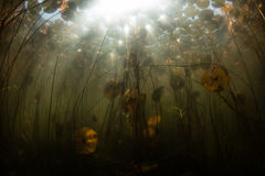 Sunlight and Lily Pads Underwater in New England Lake. A tangle of colorful Lily pads grows on the edge of a freshwater pond on Cape Cod, Massachusetts. This stock image