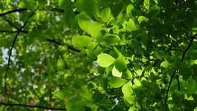 Sunlight makes its way through the leaves of the trees. Solar glare in a dense forest. Sunlight makes its way through the leaves of the trees. Solar glare in a stock video footage