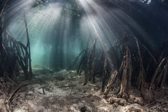 Sunlight and Mangrove Forest. Beams of light illuminate prop roots of red mangrove trees (Rhizophora sp.) in a flooded forest in eastern Indonesia. Mangroves are Stock Photos