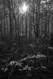 Sunlight in the mangrove forest. Sunlight and branches of trees in the mangrove forest in black and white Royalty Free Stock Images