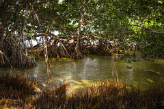 Sunlight in mangrove forest Stock Photo