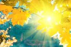 Sunlight from maple foliage in sunny day. Autumn background.  stock photos