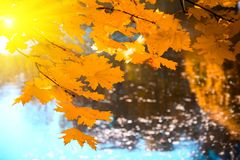 Sunlight from maple foliage in sunny day. Autumn background.  stock photography