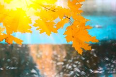 Sunlight from maple foliage in sunny day. Autumn background.  royalty free stock images