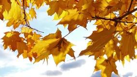 Sunlight through autumn maple leaves stock video footage