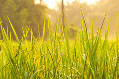 Sunlight morning dew on the field. Morning sunlight shines into the field Stock Images