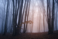 Sunlight in mysterious forest with fog in autumn Royalty Free Stock Images