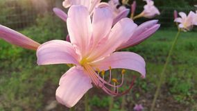 Sunlight on naked lady lillies Stock Photos