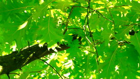 Sunlight through oak  tree leaves in summer day, low angle shot stock video footage