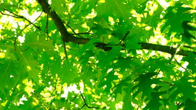 Sunlight through oak  tree leaves in summer day, rotation. An oak is a tree or shrub in the genus Quercus of the beech family, Fagaceae stock footage
