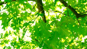 Sunlight through oak  tree leaves in summer day, rotation. An oak is a tree or shrub in the genus Quercus of the beech family, Fagaceae. The leaves and acorns stock video footage