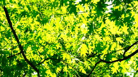 Sunlight through oak  tree leaves in summer day, rotation. An oak is a tree or shrub in the genus Quercus of the beech family, Fagaceae. The leaves and acorns stock video