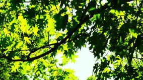 Sunlight through oak  tree leaves in summer day, rotation stock video