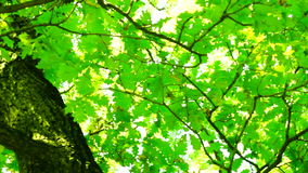 Sunlight through oak  tree leaves in summer day, rotation, sound stock footage