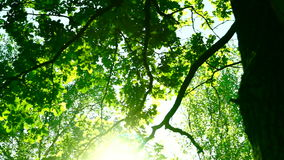 Sunlight through oak  tree leaves in summer day, rotation. Woods forest, trees background, green nature landscape, wilderness, august. Sunlight through oak  tree stock footage