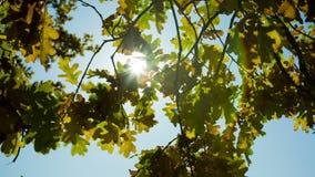 Sunlight Through Oak Trees stock video