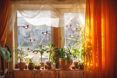 Sunlight from outside window streams into a room thick yellow curtains and white tulle. Plants and trees on a windowsill Royalty Free Stock Photos