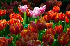 Sunlight over beautiful tulip garden in spring Royalty Free Stock Photos