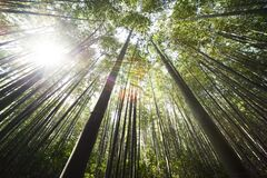 Sunlight over Brown Bamboo Trees Stock Photo