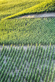 Sunlight Over a Green Summer Vineyard Royalty Free Stock Photos