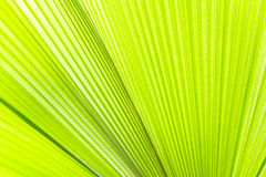 Sunlight on palm leaf. Textures Stock Photography