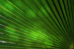 Sunlight on palm tree leaf Royalty Free Stock Image