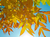 Sunlight passes through the autumn leaves Royalty Free Stock Photography