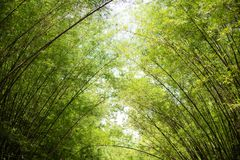 Morning sunlight to the bamboo arch. Sunlight is passing through bamboo leaves and bamboo branches in the morning Stock Images