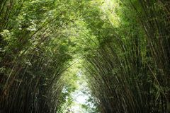 Morning sunlight to the bamboo arch. Sunlight is passing through bamboo leaves and bamboo branches in the morning Stock Photography